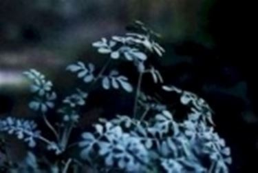 foglie di ruta