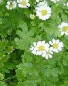 """Chrysanthemum parthenium"""""""