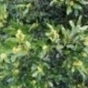 pianta di alloro