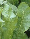 "Nasturtium armoracia"""