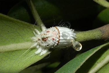 Parassiti dell'aloe arborescens