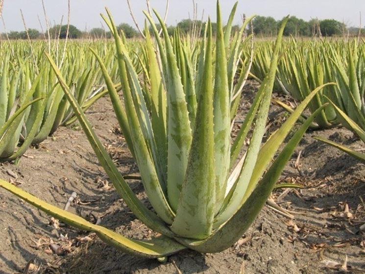 Aloe in clima arido