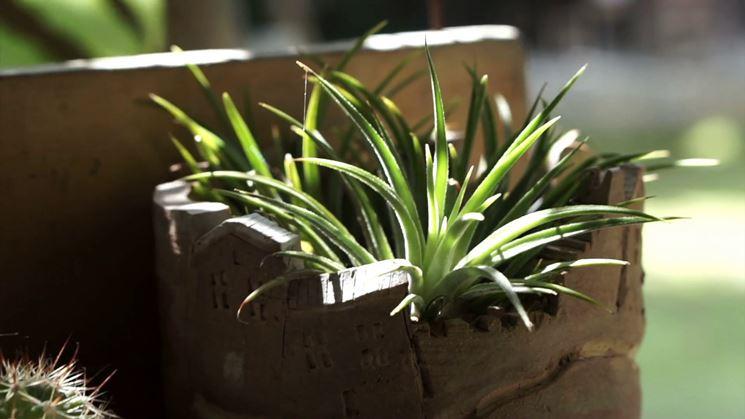 Aloe vera in casa