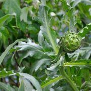 foglie di carciofo