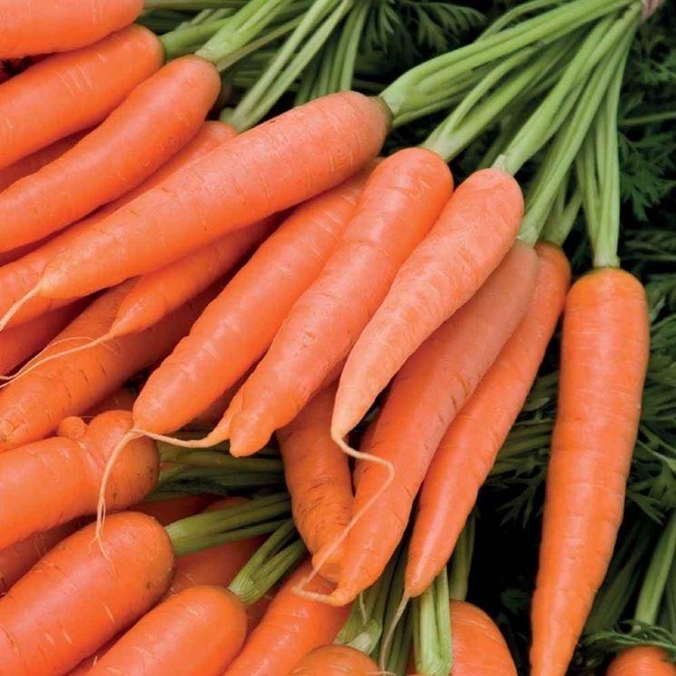 mazzo di carote per decotto