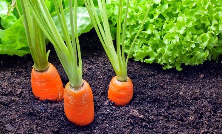 carote nel campo o giardino