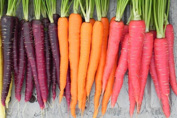 varie sfumature di carote
