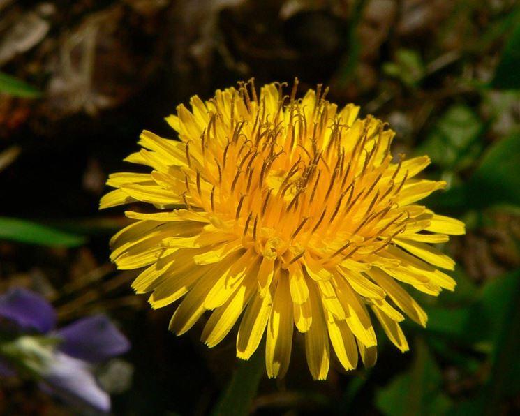 Il fiore di tarassaco