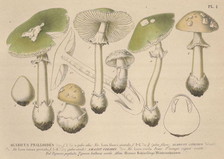 Illustrazione botanica di diverse specie del genere Agaricus