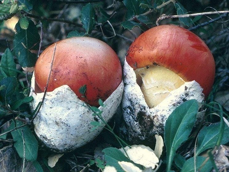 Ovuli di Amanita caesarea