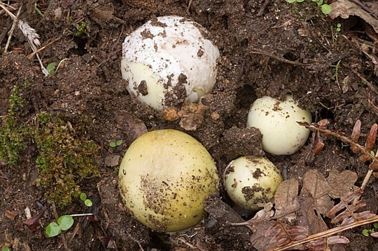 Ovuli di Amanita phalloides, che si confondono con facilità con quelli di Amanita caesarea