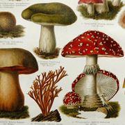 Illustrazione di alcuni funghi, tra i quali si trova l'Amanita muscaria