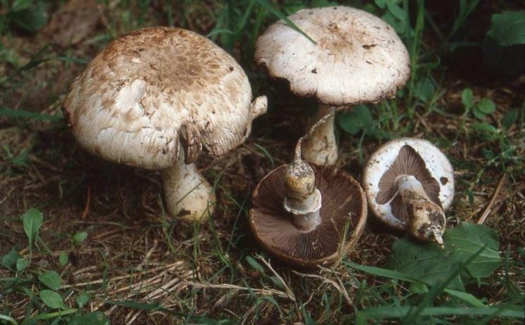 Funghi prataioli commestibili