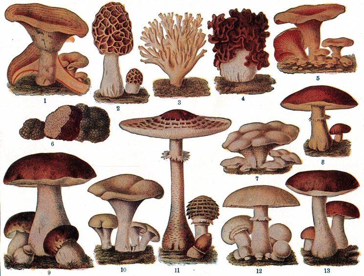 Illustrazione botanica di vari tipi di funghi commestibili