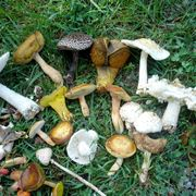 Alcuni esemplari di funghi velenosi, tra i quali l'Amanita verna