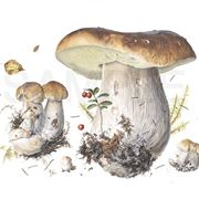 Illustrazione botanica di Boletus Edulis