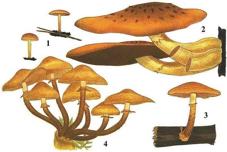 Illustrazione botanica di Kuehneromyces mutabilis