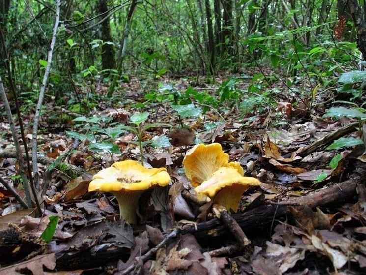 Il Cantharellus cibarius si trova facilmente nel sottobosco, per via del suo colore giallo