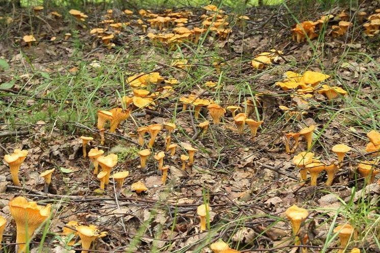 Una nutrita colonia di Cantharellus cibarius
