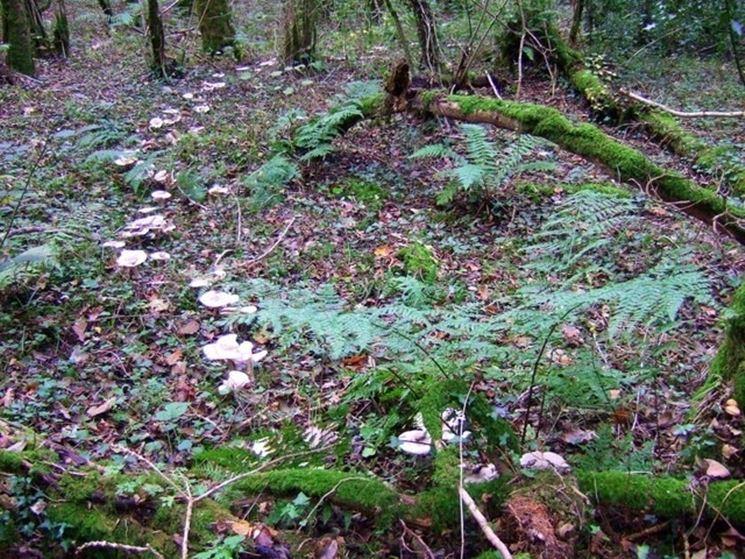 Esemplari di Clitocybe geotropa disposti in cerchio, nel loro habitat naturale