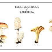 Illustrazione botanica di alcune specie di funghi, tra le quali il Coprinus comatus