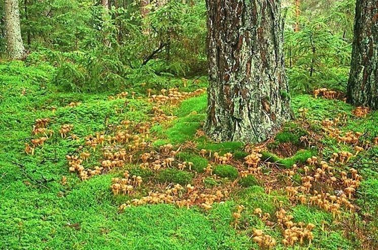 Una vasta colonia di <em>finferle</em> nel loro habitat