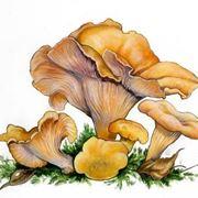 Illustrazione botanica del finferlo