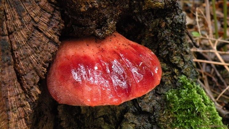 Un esemplare di Fistulina hepatica, o lingua di bue