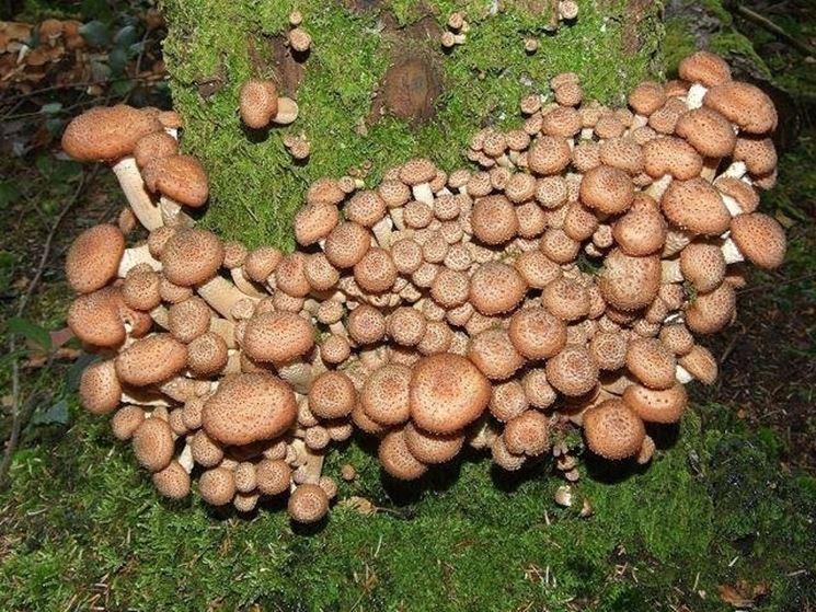 Insediamento di funghi Chiodini