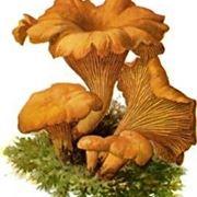 fungo gallinaccio