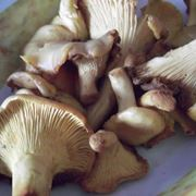 gallinacci funghi