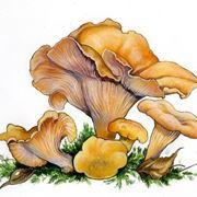 Illustrazione botanica del <strong>cantharellus cibarius</strong> detto giallino
