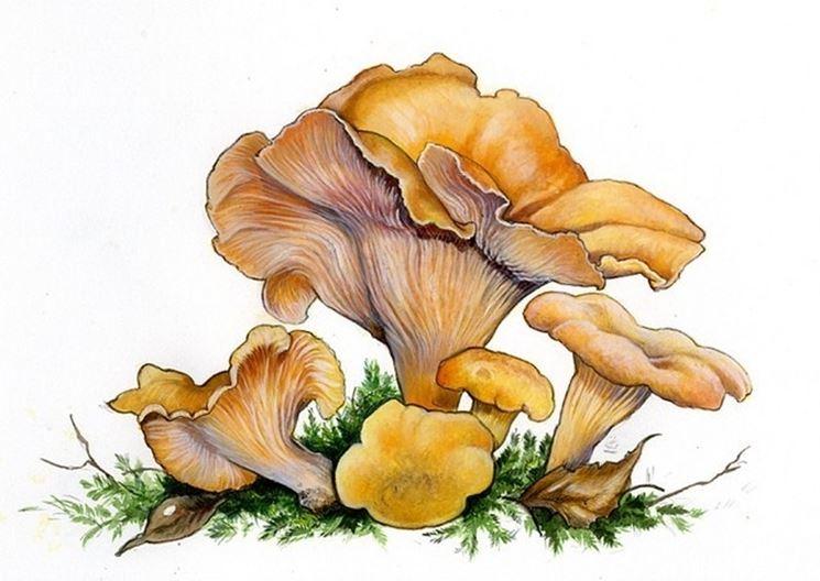 Illustrazione botanica del cantharellus cibarius detto giallino