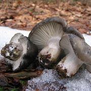 L'Hygrophorus marzuolus si trova spesso quando c'è ancora la neve