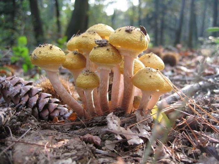 Un gruppetto di Armillaria mellea, che somiglia molto all'Hypholoma fasciculare