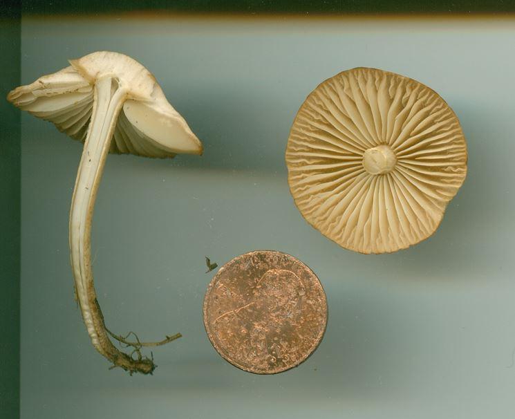 Un esemplare di Marasmius oreades, paragonato ad una monetina
