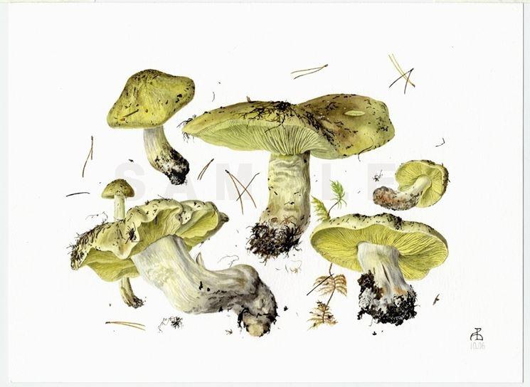 Il disegno botanico di una delle varie specie di Tricholoma