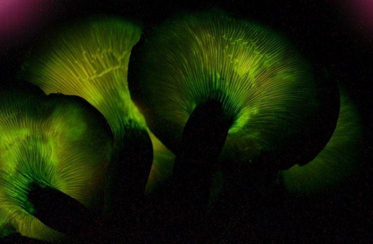 Una suggestiva immagine della luminescenza tipica dell'Omphalotus olearius