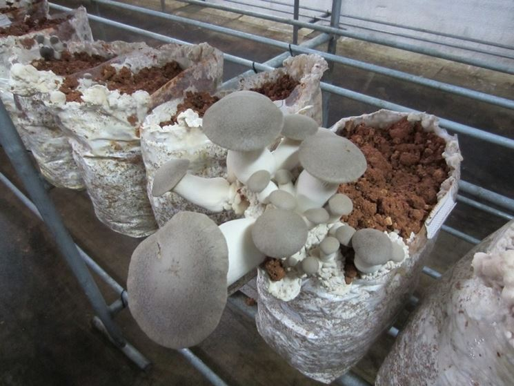 Come coltivare i Pleurotus