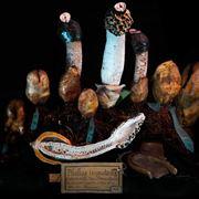 Vari esemplari in mostra, e sezione, di Phallus impudicus