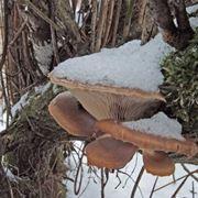 Il Pleurotus ostreatus � detto gelone perch� resiste bene al freddo; qui appare sepolto dalla neve