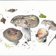 Illustrazione di Russula cyanoxantha