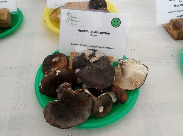Esemplari di Russula cyanoxantha pronti per essere mangiati
