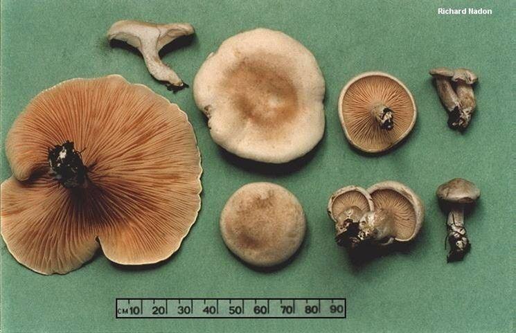 Caratteristiche fisiche del clitopilus prunulus