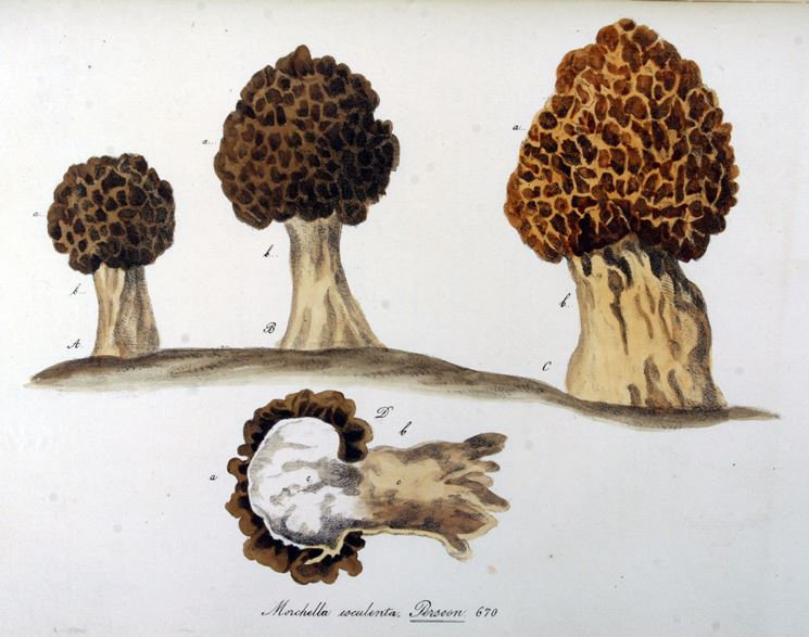 Disegno botanico della varietà Morchella Esculenta