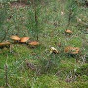 Esemplari di Suillus granulatus nel sottobosco di una pineta