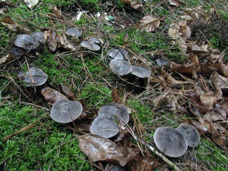 Un gruppetto di Tricholoma terreum nel sottobosco di una pineta