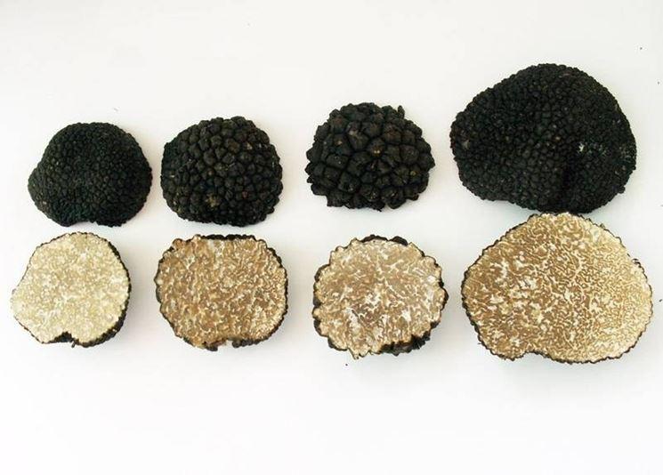 Habitat e altre caratteristiche morfologiche del Tuber Aestivum