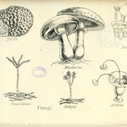 Illustrazione botanica di funghi e tartufi