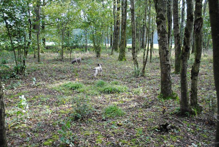Cani alla ricerca di tartufi in un bosco di latifoglie